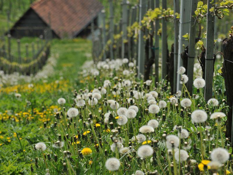 Blumenwiese mit Weinreben